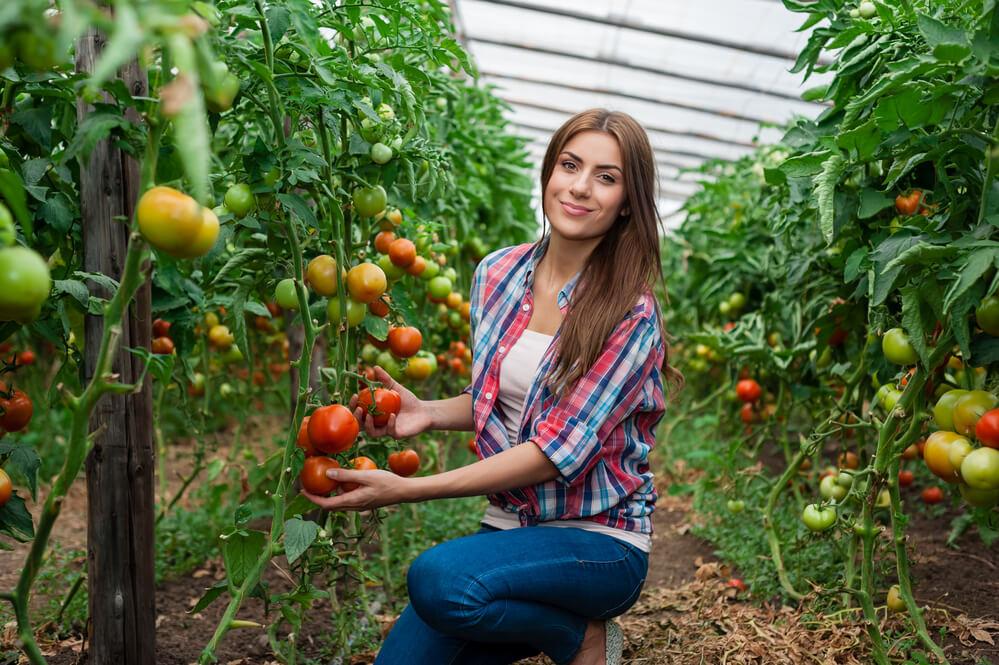 Er tomat en grøntsag eller en frugt